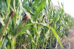 Il raccolto di piantatura del cereale di campo nella fase di fruttificazione, concetto tradizionale di agricoltura fotografie stock libere da diritti