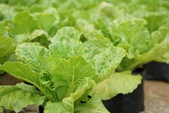 Il raccolto di piantatura di verdure della lattuga romana a raccogliere fase fotografia stock