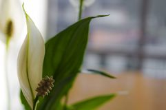 Il raccolto di wallisii di Spathiphyllum a casa Fotografia Stock