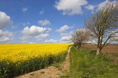 Il raccolto e fiore della colza Fotografia Stock