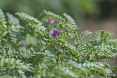 Il raccolto e fiore di grammo del cece Immagini Stock