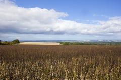 Il raccolto e terreno boscoso maturi del fagiolo Fotografia Stock Libera da Diritti