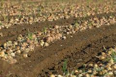 Il raccolto effettuato della cipolla Fotografie Stock Libere da Diritti