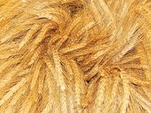 Il raccolto effettuato Orecchie di grano in un mazzo immagine stock libera da diritti