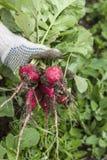 Il raccolto fresco del ravanello Fotografie Stock Libere da Diritti