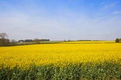 Il raccolto giallo della colza Fotografia Stock