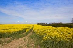 Il raccolto giallo luminoso della colza Immagine Stock Libera da Diritti