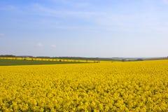 Il raccolto giallo luminoso della colza Fotografie Stock