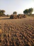 Il raccolto indiano che raccoglie campo fotografie stock libere da diritti