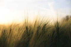 Il raccolto maturo pieno di sole - campo di cereale giallo durante l'alba Immagini Stock