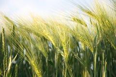 Il raccolto maturo pieno di sole - campo di cereale giallo durante l'alba Fotografie Stock