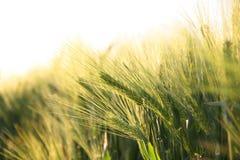 Il raccolto maturo pieno di sole - campo di cereale giallo durante l'alba Fotografia Stock