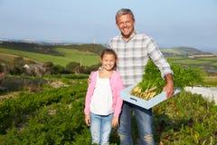 Il raccolto organico della carota di With Daughter Harvesting dell'agricoltore sull'azienda agricola Fotografia Stock Libera da Diritti