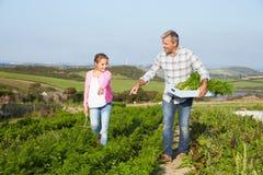 Il raccolto organico della carota di With Daughter Harvesting dell'agricoltore sull'azienda agricola Fotografie Stock Libere da Diritti