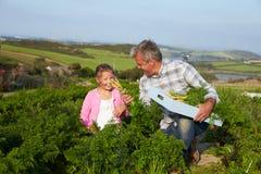 Il raccolto organico della carota di With Daughter Harvesting dell'agricoltore sull'azienda agricola Immagine Stock Libera da Diritti
