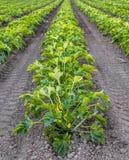 Il raccolto organico della zucca Immagine Stock