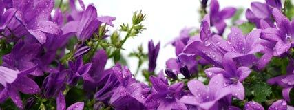 Il raccolto panoramico dei bellflowers dalmata porpora isolati su bianco Immagini Stock Libere da Diritti