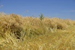 Il raccolto pesante di grano Immagine Stock Libera da Diritti