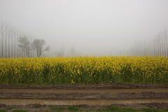 Il raccolto punjabi della senape Fotografia Stock