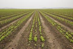 Il raccolto recentemente piantato dei fagioli Fotografia Stock Libera da Diritti