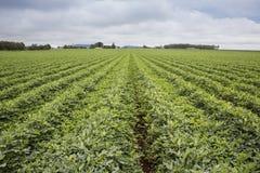 Il raccolto rotazionale dei legumi Fotografie Stock Libere da Diritti
