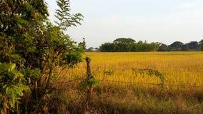 Il raccolto tropicale del riso Immagine Stock