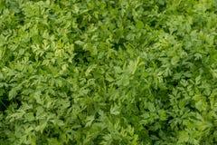 Il raccolto verde del prezzemolo immagine stock
