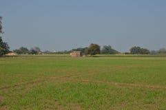 Il raccolto verde di panorama di grano Fotografie Stock Libere da Diritti