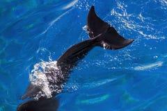 Il racconto del delfino di Bottlenose di Yong sta tuffandosi fotografia stock libera da diritti