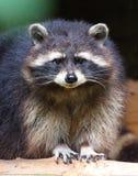 Il raccoon Fotografia Stock Libera da Diritti