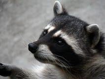 Il raccoon curioso. Immagine Stock Libera da Diritti