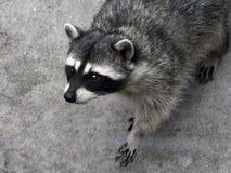 Il raccoon curioso. Fotografia Stock