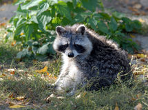 Il Raccoon ha alesato Immagine Stock Libera da Diritti