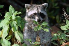Il Raccoon si leva in piedi all'attenzione Fotografie Stock