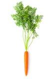 il Radice-raccolto della carota con le parti superiori verdi Fotografie Stock Libere da Diritti