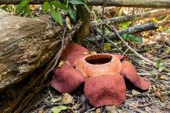 Il Rafflesia, più grande fiore fotografie stock libere da diritti