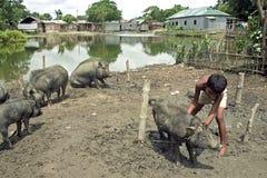 Il ragazzo del Bangladesh è nella cura dei suoi maiali immagini stock libere da diritti
