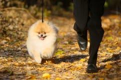 Il ragazzo funziona lungo il percorso con un cane rosso e lanuginoso Un cucciolo attivo e felice cammina su un guinzaglio con un  Fotografie Stock