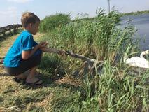 Il ragazzo sta alimentando il cigno Immagini Stock Libere da Diritti