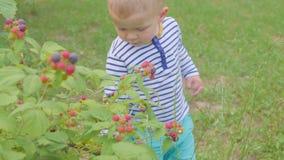 Il ragazzo strappa i lamponi dai cespugli e lo mangia nel giardino 4K stock footage