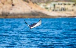 Il raggio della mobula sta saltando nei precedenti della spiaggia di Cabo San Lucas mexico Mare di Cortez fotografia stock libera da diritti