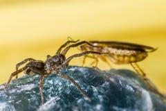Il ragno attacca la blatta fotografia stock libera da diritti
