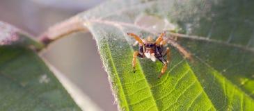 Il ragno che salta fra le foglie del pavimento della foresta immagini stock