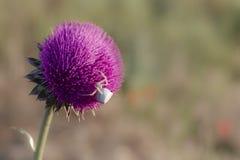 Il ragno del granchio del fiore bianco si siede su un fiore del cardo selvatico fotografie stock libere da diritti