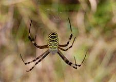 Il ragno della vespa Immagine Stock