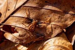 Il ragno di Brown si siede sulla vecchia foglia immagine stock libera da diritti