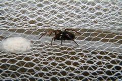 Il ragno ha tessuto le ragnatele ed ha fatto le loro uova su una zanzariera Fotografia Stock Libera da Diritti
