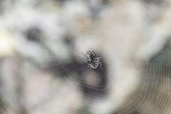 Il ragno nel web Immagine Stock