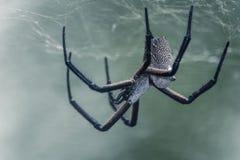 Il ragno posteriore di bianco che lo costruisce è web Fotografie Stock