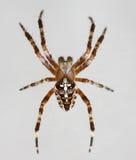 Il ragno, ragno ha ingrandetto il dettaglio Fotografie Stock Libere da Diritti